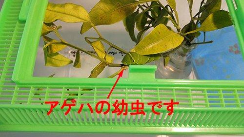 本論とは関係のないアゲハの幼虫の写真