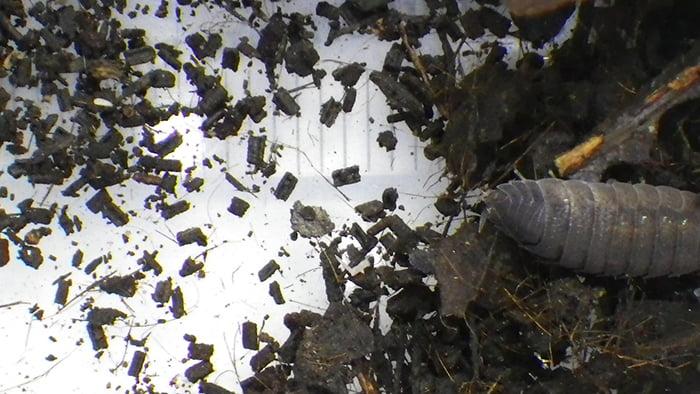 だんだんダンゴムシさんから引用させて頂いたワラジムシの糞の写真画像