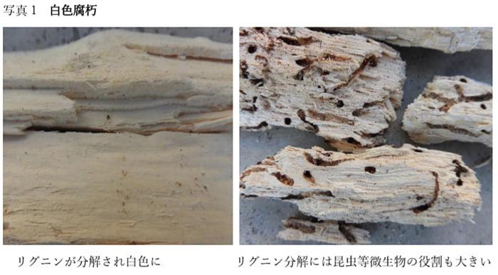 コラム「木材腐朽菌の多様性」からの引用させて頂いた写真画像②白色腐朽