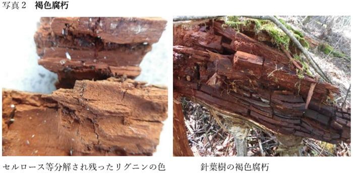 コラム「木材腐朽菌の多様性」からの引用させて頂いた写真画像①褐色腐朽