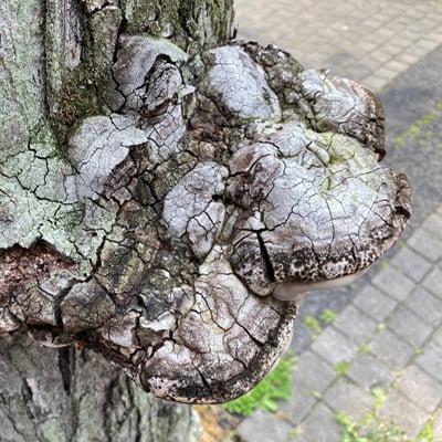 褐色腐朽菌に分類されるサルノコシカケを撮影した写真画像
