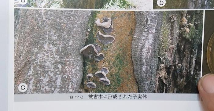 木材腐朽菌図鑑、アラゲキクラゲ紹介ページの紹介写真一部を撮影した写真画像