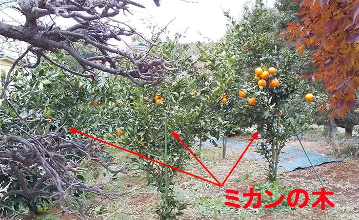 対岸の生産緑地に植えられたミカンの木を撮影した写真画像