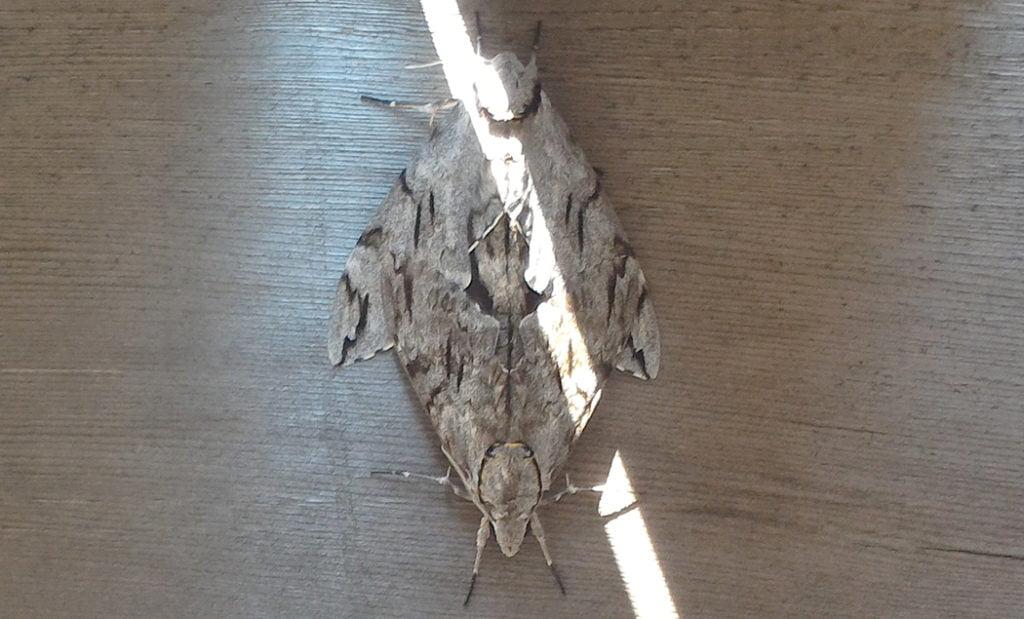 上下左右対称の「何か」の様子を撮影した写真画像04(拡大3):梁側面に張り付いた交尾中の蛾