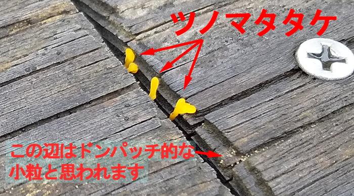 全体的な目視調査で2Fデッキに新たに発見されたツノマタタケ等を撮影した写真画像