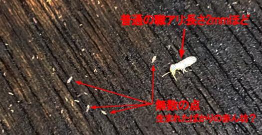 自分でやるDIYでのシロアリ駆除(薬剤散布)中に発見したシロアリの赤ちゃんと思われる無数の点を撮影したコメント入り写真画像