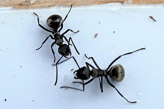 普通の蟻(クロアリ)をイメージする挿絵:クロアリ二匹の写真画像