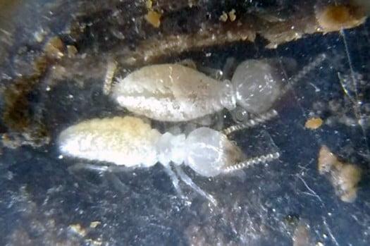 筆者の建売マイホームで見つかったシロアリ(白蟻)写真:サンプルとして採取し机上で撮影した写真画像