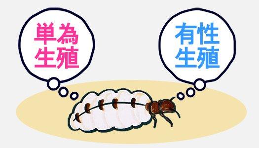 挿絵:単為生殖と有性生殖の選ぶシロアリの女王アリのイラスト画像 ※シロアリ(白蟻)の生殖システム解説用画像4