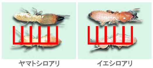 日本しろあり対策協会さんから引用させて頂いた、シロアリの外観の写真画像に大きさ比率確認用スケールを当てた画像 ※シロアリ種類見分け方解説用写真