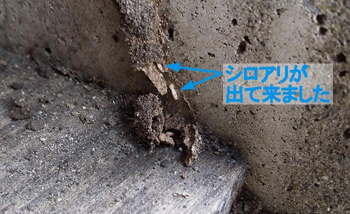 破れたアリ道から出てきたシロアリを撮影したコメント入り写真画像
