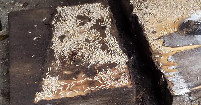 先のコンパネ下の端材を侵すヤマトシロアリ写真の左側を拡大した写真画像 ※シロアリの巣の見直し分析&検証画像24