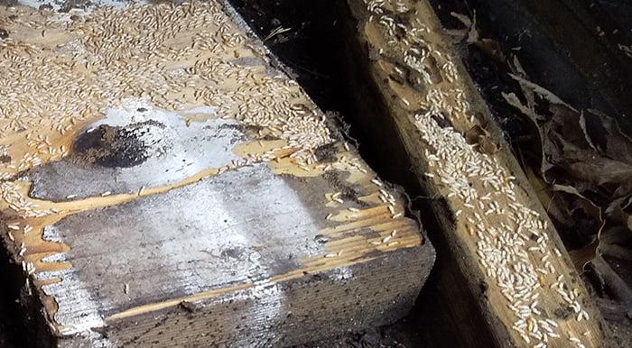 先のコンパネ下の端材を侵すヤマトシロアリ写真の右側を拡大した写真画像 ※シロアリの巣の見直し分析&検証画像25