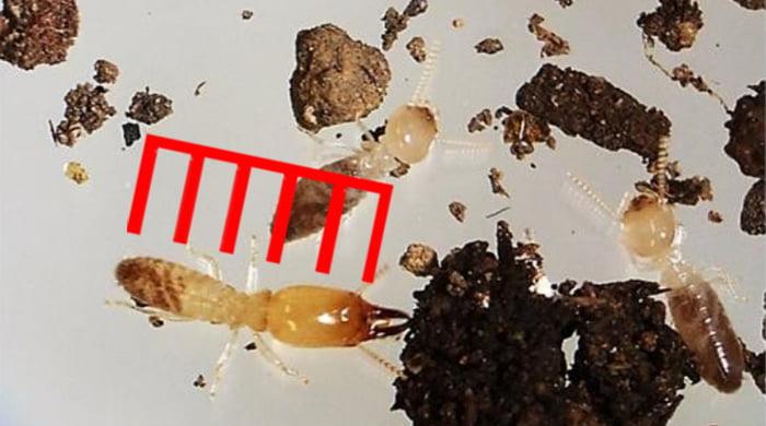豊島区サイトのヤマトシロアリ写真画像の兵アリにシロアリ頭部大きさ比率確認用スケールを合成した解説用写真画像(シロアリ種類の見分け方の解説画像6)