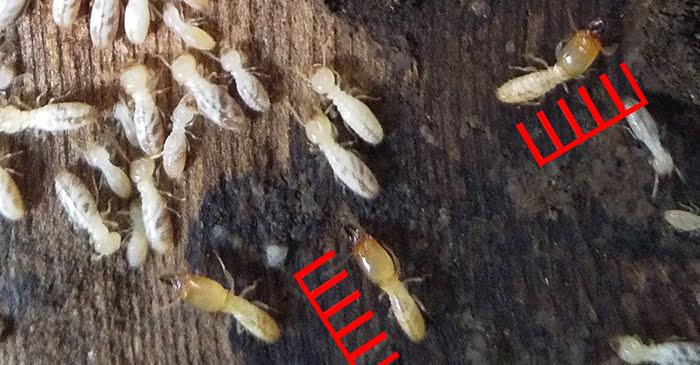 シロアリの兵アリが写っている拡大写真画像5(シロアリ種類の見分け方の解説画像5) ※シロアリ頭部の大きさ比率確認用スケールを合成したもの