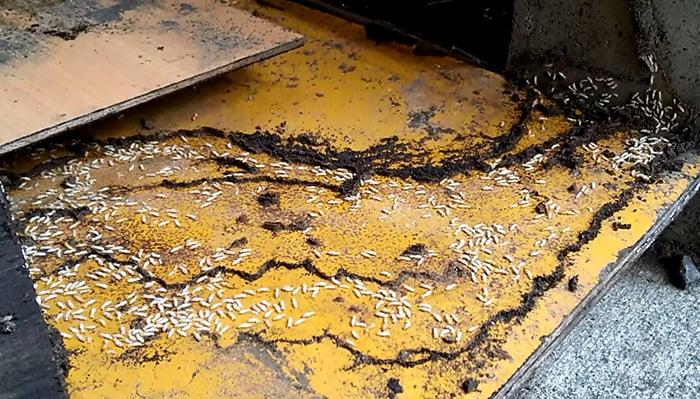 上側を捲った直後の下側コンパネ上の大量のシロアリ達の様子を撮影した画像(シロアリ写真) ※Original image actually taken by myself:シロアリの画像10