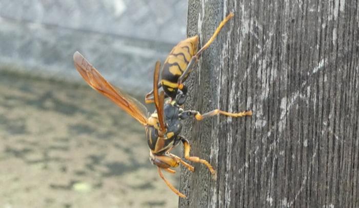 アシナガバチの挿絵2:写真画像