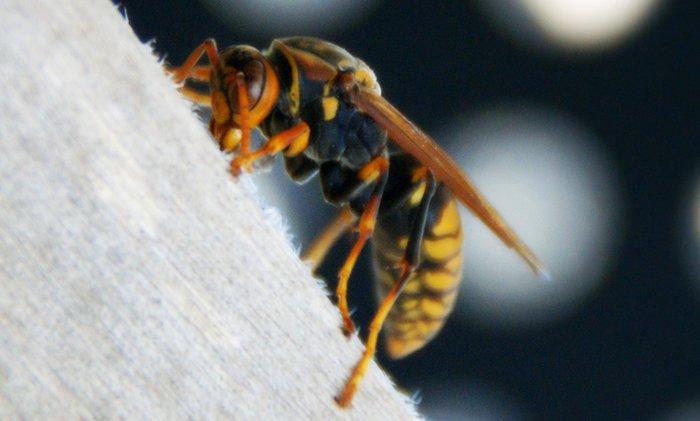 アシナガバチの挿絵1:写真画像