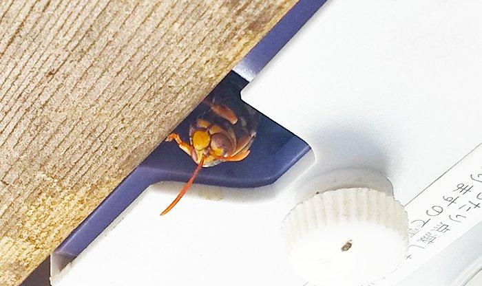 前掲の下の穴から顔を出して黄昏ているアシナガバチを撮影した写真画像を拡大し補正した画像