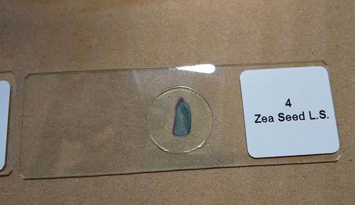maxlapterの顕微鏡 2000倍「WR851-2」に同封されている試料①「Zea Seed」の外観を等倍で撮影した写真画像