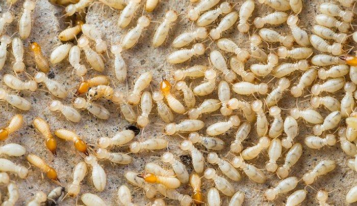 デポジットフォトさんで購入したシロアリ画像 Close up termites or white ants in Thailand