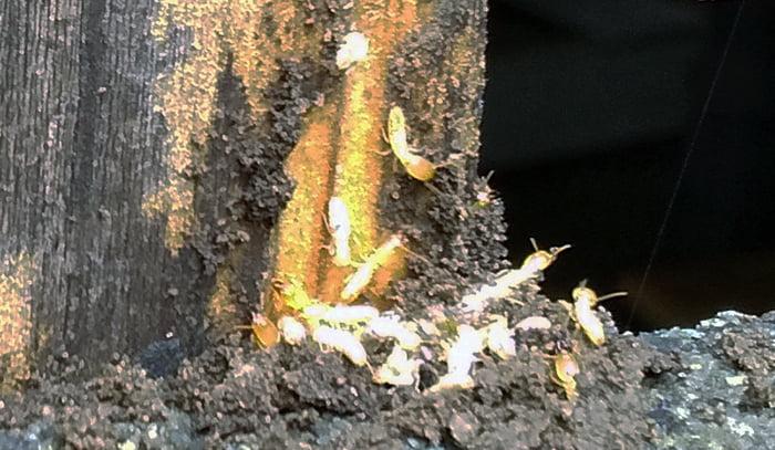 前掲のアリ道①のシロアリの拡大写真画像 (シロアリの巣とはあまり関係ありません・・・)