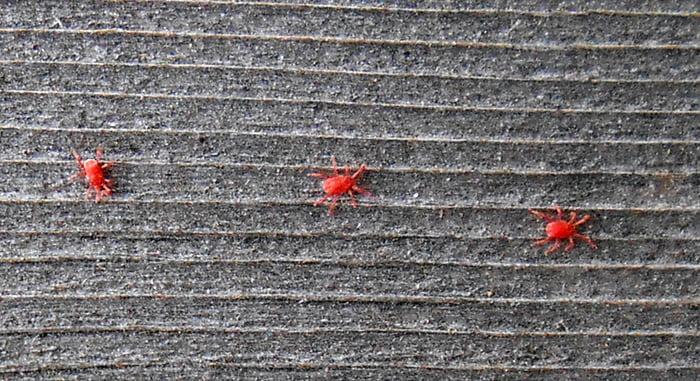 ウッドデッキ手摺上の(小さい赤い虫)タカラダニ✕3匹を撮影した写真画像 ※スマホでの撮影写真3