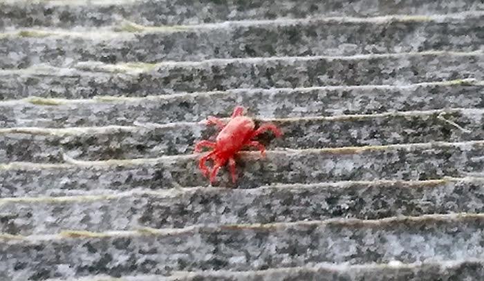筆者の建売マイホームの小さい赤い虫:タカラダニを拡大撮影した写真画像(全長1mmほどですので、10倍くらいの拡大率と思われる写真) ※スマホでの撮影写真1