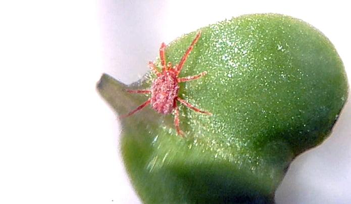 10倍ほどの拡大率で撮影した(小さい赤い虫)タカラダニ(小さい赤い虫)とブロッコリースプラウトの葉っぱ ※デジタル顕微鏡での撮影写真3