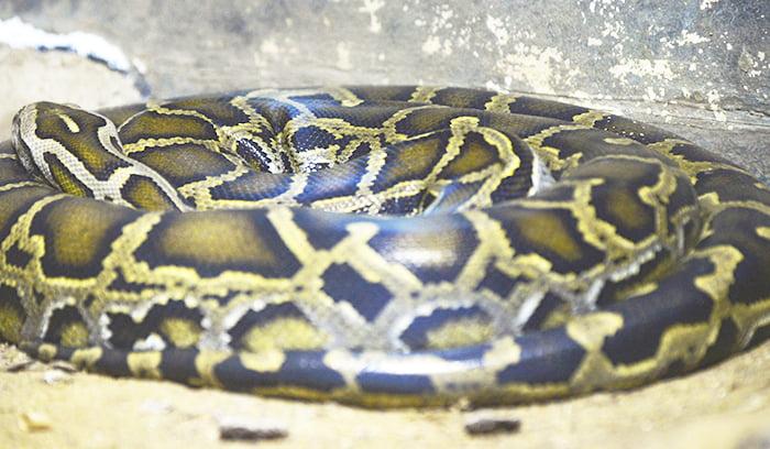 挿絵:アミメニシキヘビのイメージ:ニシキヘビを撮影した写真画像 ※今回のアミメニシキヘビではありません。 ※アミメニシキヘビはいつ、どこから屋根裏に戻った?検証&解説画像06