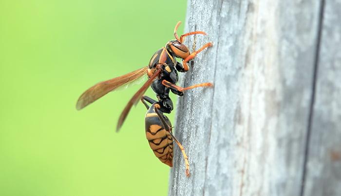 挿絵:丸太に停まるアシナガバチを撮影した写真画像