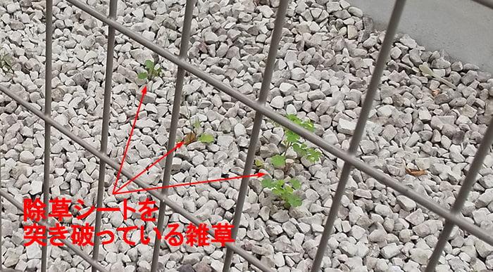 お隣の防犯砂利下の除草シートを突き破っている雑草を撮影したコメント入り写真画像