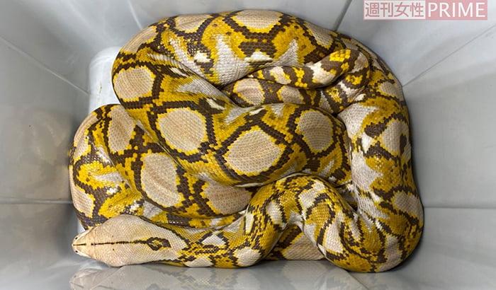 週刊女性PRIMEさんページより引用した捕獲されたアミメニシキヘビを撮影した写真画像 ※アミメニシキヘビはいつ、どこから屋根裏に戻った?検証&解説画像34