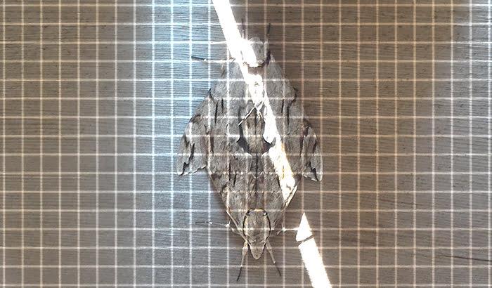 前掲の2020年GAGA!:上下左右対称の蛾(要するに交尾中の蛾)を撮影した写真画像に1cmピッチのグリッドを重ねた写真画像