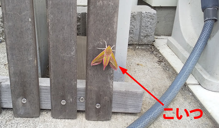 2021年GAGA!:モフモフの蛾1A(遠景)を撮影した写真画像 ※モフモフの毛が生えたショッキングピンクの蛾の解説画像01