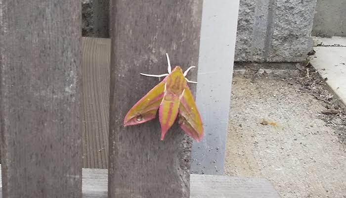2021年GAGA!:モフモフの蛾を撮影した写真画像1B(中景) ※モフモフの毛が生えたショッキングピンクの蛾の解説画像02