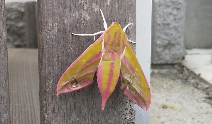 2021年GAGA!:モフモフの蛾を撮影した写真画像1C(近景) ※モフモフの毛が生えたショッキングピンクの蛾の解説画像03