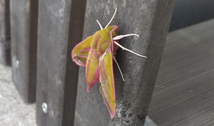 2021年GAGA!:モフモフの蛾を撮影した写真画像2A(近景) ※モフモフの毛が生えたショッキングピンクの蛾の解説画像06