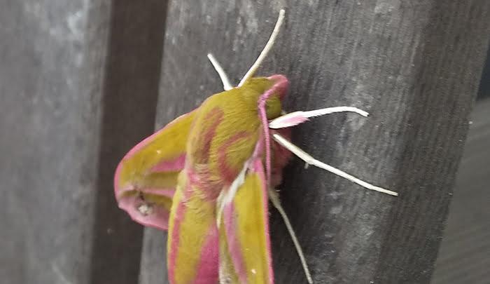 2021年GAGA!:モフモフの蛾を撮影した写真画像2B(拡大) ※モフモフの毛が生えたショッキングピンクの蛾の解説画像07