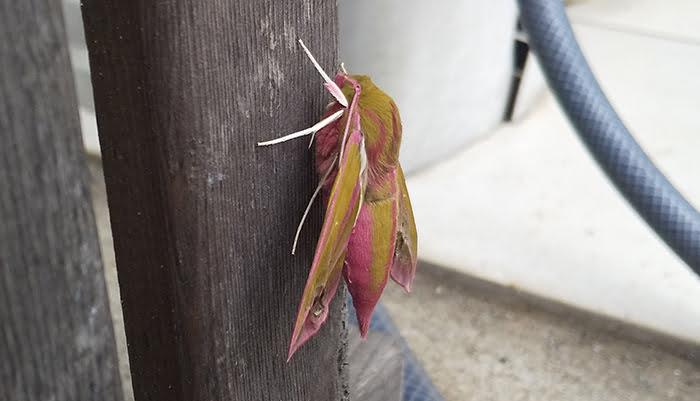 2021年GAGA!:モフモフの蛾を撮影した写真画像3A(近景) ※モフモフの毛が生えたショッキングピンクの蛾の解説画像08
