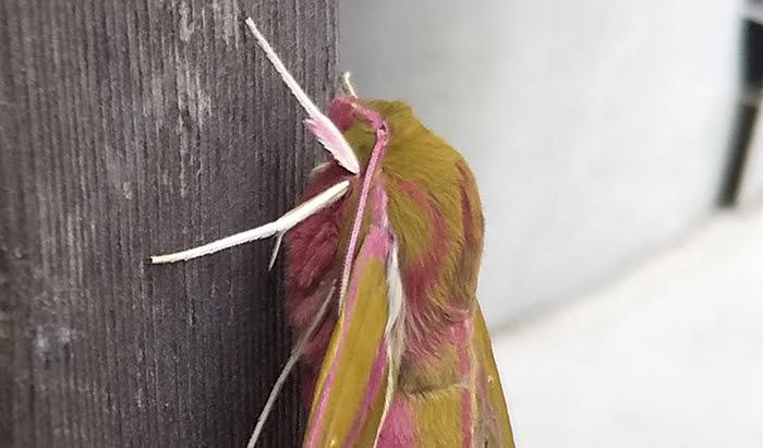 2021年GAGA!:モフモフの蛾を撮影した写真画像3B(拡大) ※モフモフの毛が生えたショッキングピンクの蛾の解説画像09