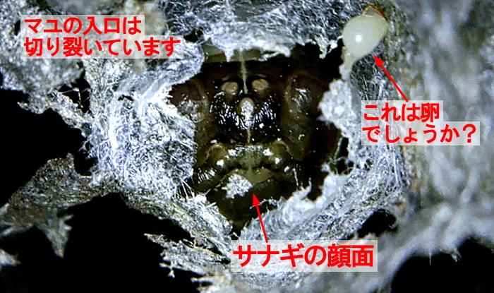 参考写真:サナギになってしまっているアシナガバチの幼虫と卵?を撮影したコメント入り写真画像 (2021年5月②のアシナガ蜂の巣の撤去後に撮影)