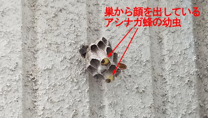 ハッカ油による追い出し作戦前のアシナガ蜂の巣から見える幼虫を撮影したコメント入り写真画像