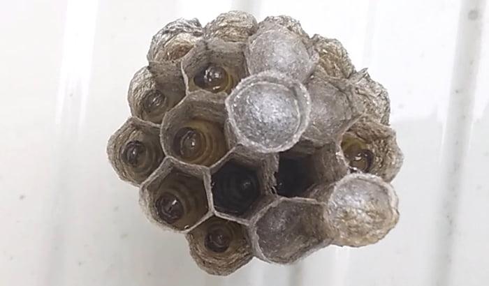 ハッカ油作戦により除去する前のアシナガ蜂の巣内の幼虫とサナギの様子を撮影した写真画像