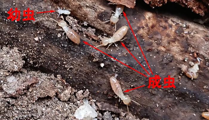 とあるお宅の腐敗木に巣食うシロアリ(職アリ)の成虫と幼虫を撮影したコメント入り写真画像