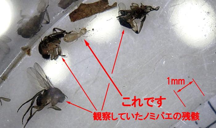 ノミバエの残骸に紛れ込んだシロアリに似た虫(チャタテムシ):半透明の様子を撮影したコメント入り写真画像1 (何ちゃってデジタル顕微鏡DM3での撮影)