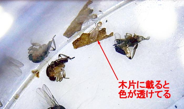 ノミバエの残骸に紛れ込んだシロアリに似た虫(チャタテムシ):半透明の様子を撮影したコメント入り写真画像2 (何ちゃってデジタル顕微鏡DM3での撮影)