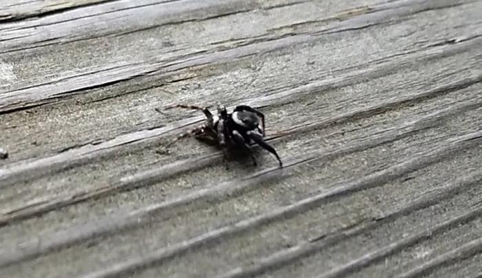 筆者の建売マイホームのウッドデッキ上を歩くハエトリ蜘蛛アダンソン(アダンソンハエトリ)を撮影した写真画像