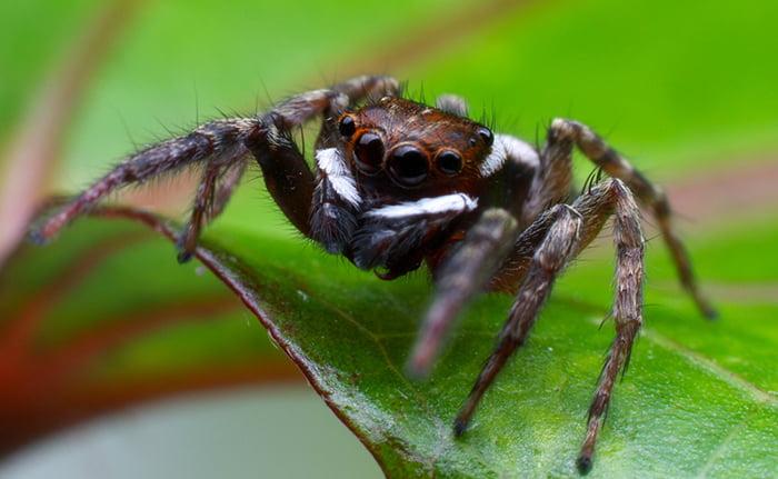 ハエトリ蜘蛛アダンソン(アダンソンハエトリ)の風貌を撮影した写真画像1 (Nhobgood Nick Hobgood, CC BY-SA 3.0 , ウィキメディア・コモンズ経由で)