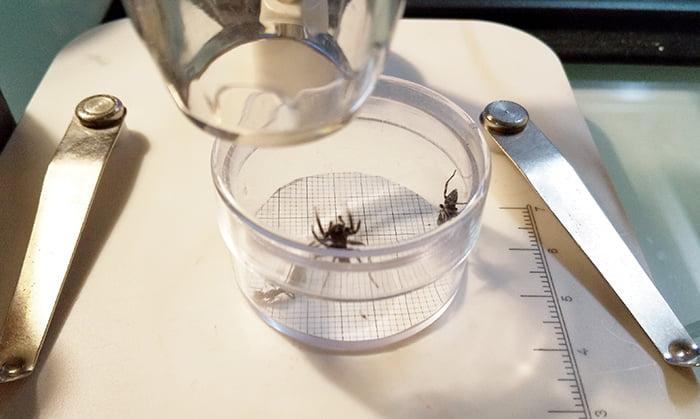 今回のハエトリ蜘蛛アダンソン(アダンソンハエトリ)のデジタル顕微鏡「DM3」を用いた撮影風景を撮影した写真画像
